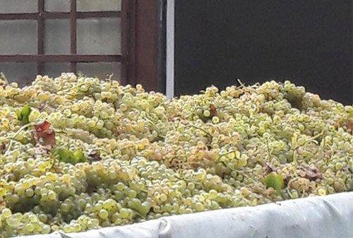 vini testa uva arriva in azienda